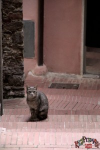 gatto amegliese