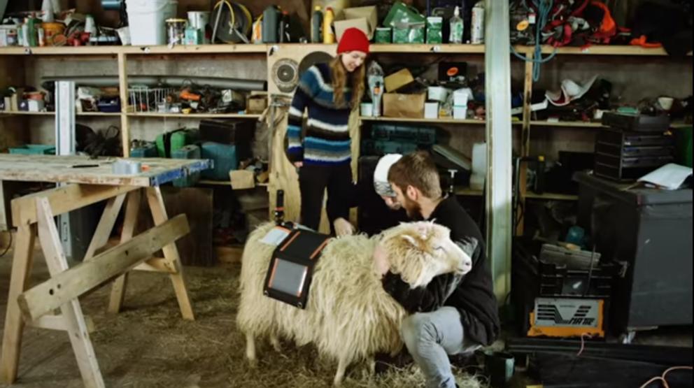 Durita ed un pastore montano la telecamera su una pecora